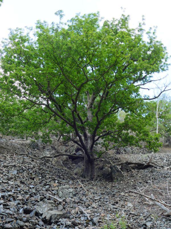 Rückweg nach Thale - Baum