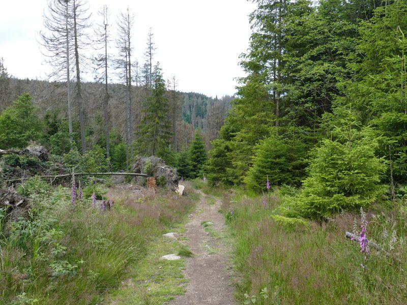 Torfhaus - Waldweg